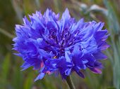 stock photo of risen  - Blue and purple flower just before the sun has risen - JPG
