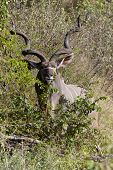 stock photo of veld  - Kudu bull eating in the Kruger National Park - JPG