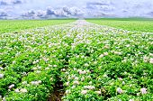 foto of potato-field  - potato flowers in bright sunlight grow in a field with weeds - JPG
