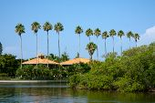 pic of row trees  - A row of palm trees in a tropical Florida setting - JPG