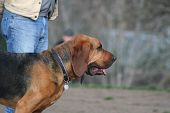 pic of bloodhound  - Close up of a cute Bloodhound dog - JPG