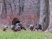 pic of mating  - Wild turkey strutting for a mate in the spring mating season - JPG