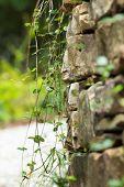 pic of jasmine  - Close up of rock wall draped with Asiatic jasmine Trachelospermum asiaticum - JPG