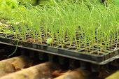 image of germination  - Germination is the new life of green seedlings - JPG