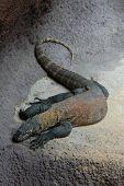stock photo of komodo dragon  - Komodo dragon  - JPG