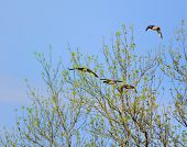 picture of male mallard  - female and male mallards are flying in the tree - JPG
