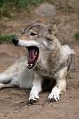 stock photo of lupus  - Eurasian wolf  - JPG