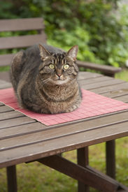 stock photo of exhibitionist  - Cat relaxing on a table in the garden - JPG