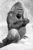 stock photo of gorilla  - Black and white of silver backed gorilla looking mighty skeptical about his food - JPG