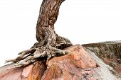 image of conifers  - Trunk and root of ancient conifer tree growing on big rock isolated on white - JPG