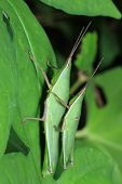 stock photo of leaf insect  - insect on leaf Grasshopper perching on a leaf - JPG