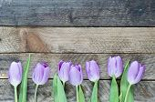 stock photo of violets  - Beautiful violet Tulips - JPG