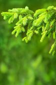 pic of coniferous forest  - Coniferous forest - JPG