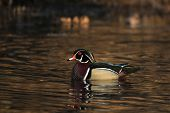 stock photo of duck pond  - Male wood duck sitting on a small pond in midwest United States - JPG