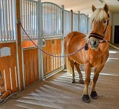 foto of saddle-horse  - Brown horse standing in stable ready to saddle  - JPG