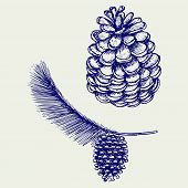 pic of pine cone  - Pine branch with cones - JPG