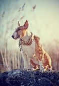 picture of bulls  - Attentive red dog of breed a bull terrier in a checkered scarf sits on a stone - JPG