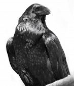 picture of raven  - Black raven isolated on a white background - JPG