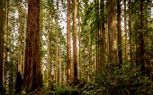 stock photo of redwood forest  - A quiet redwood forest in Northern California - JPG