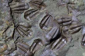 stock photo of paleozoic  - trilobite fossil as very nice natural background - JPG