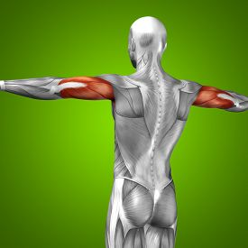 stock photo of triceps brachii  - Concept or conceptual 3D triceps human anatomy or anatomical and muscle on green gradient background - JPG