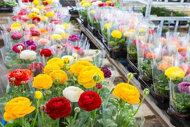 image of buttercup  - Greenhouse with colorful flower Buttercups wrapped in plastic foil ready to transport to the flower shop - JPG