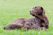 Постер, плакат: Female Labrador Retriever Dog With Puppies