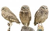 Three Burrowing Owls