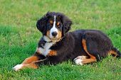 stock photo of dog park  - Portrait of puppy Bernese mountain dog in natural scenery - JPG