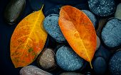 Autumn Season And Peaceful Concepts. Orange Leaf On River Stone . Abstract Background Of Autumn Leaf poster