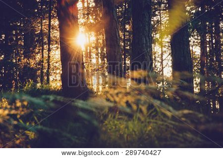 poster of Sunset In Pine Forest Nature Background. Dark Background Of Pine Forest.last Sun In Forest Nature. S