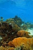 picture of coral reefs  - Coral reef scene underwater on the island of Bonaire in the Caribbean - JPG