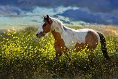 pic of choctaw  - Painted Pony  - JPG