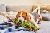 Beagle Chewing A Rope Toy On Sofa. poster