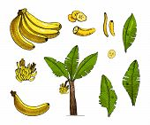 Banana Colorful Sketch Set Illustration With Leaves, Tree, Bananas Fruits.detailed Botanical Style S poster