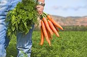 stock photo of root-crops  - Close up of a carrot farmer with a bunch of freshly picked carrots in a carrot field - JPG