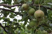 Photo Pears That Hang On A Branch. Fruits Are Green. Pears Ripen. On The Branch Of Some Fruit. Branc poster