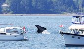 Orca Killer Whale Breaching Between Two Pleasure Boats, Close To Shore.  Vancouver Island, Canada poster