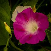 Nature, Flora, Garden, Flowers, Magenta, Morning Glory, Bud poster