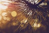 Pine Leaves Sunset Background. Natural Sunset Background. Christmas Tree Sunset Background. Pine Lea poster