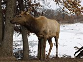 foto of bull rushes  - Female elk in the wilderness  - JPG