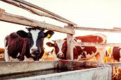 Cows Drinking Water On Farm Yard At Sunset. Cattle Walking Outdoors In Countryside. poster