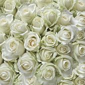 Постер, плакат: Белые розы