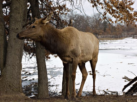 picture of bull rushes  - Female elk in the wilderness  - JPG