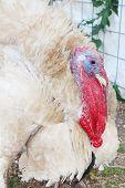 foto of turkey-cock  - Large white turkey - JPG