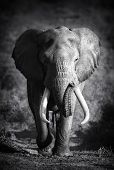 picture of bull  - Large Elephant Bull Approaching  - JPG