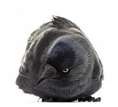 Western Jackdaw lying and looking down, Corvus monedula, (or Eurasian Jackdaw, or European Jackdaw o
