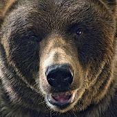 pic of grizzly bears  - Close up head shot of grizzly bear - JPG