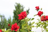 "picture of climbing roses  - Flowering climbing rose (Rosa filipes) ""New Down"" in a garden