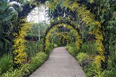 picture of yellow orchid  - scenic pathway under natural arches arranged by yellow orchids in famous botanical garden of Singapore - JPG